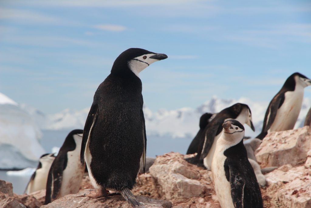 chinstrap-penguin-1149258_1920